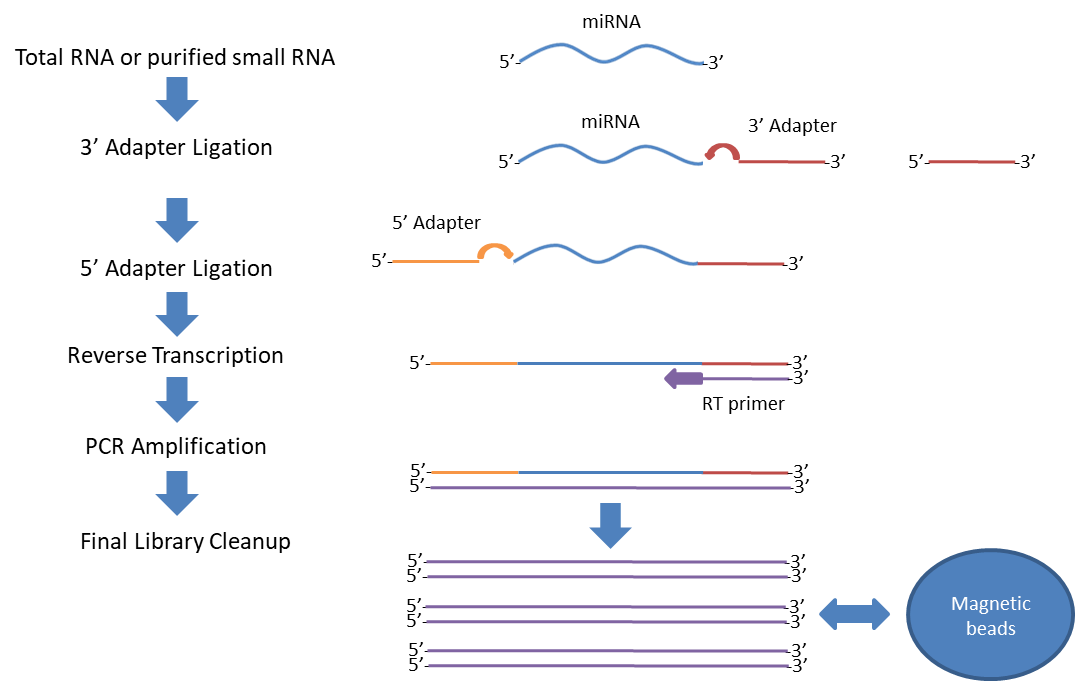 starting with dnase treated and quality controlled total rna adapters containint ght truequant barcodes are ligated to both ends of the smallrna